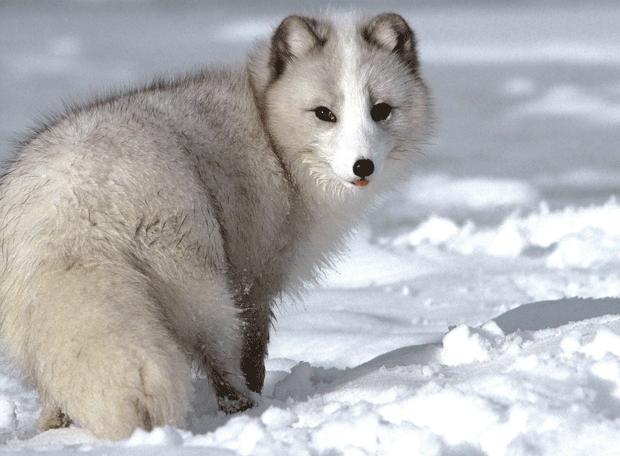 Arctic-Fox-wildlife-photography
