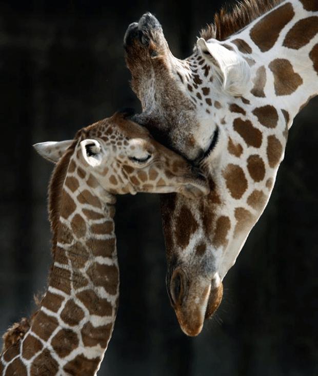 amazing-photography-giraffe