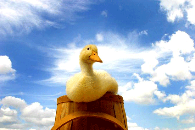 animal-photography-duck