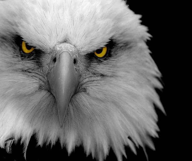 animal-photography-eagle