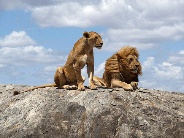 animal-photography-lions