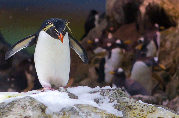 animal-photography-penguin