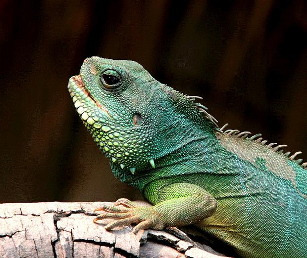animal-photography-wildlife-iguana