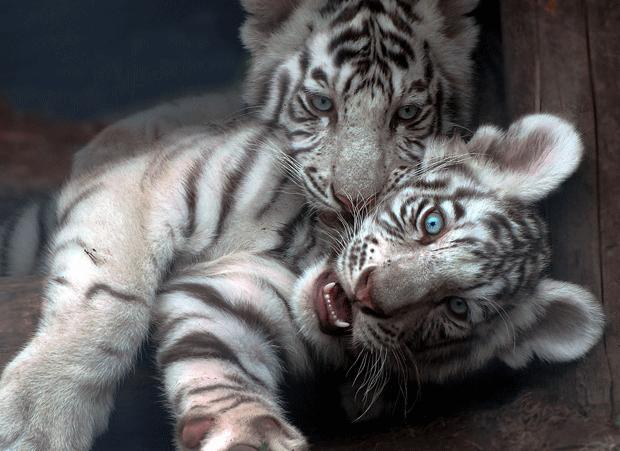 animal-wildlife-photography-white-tigers