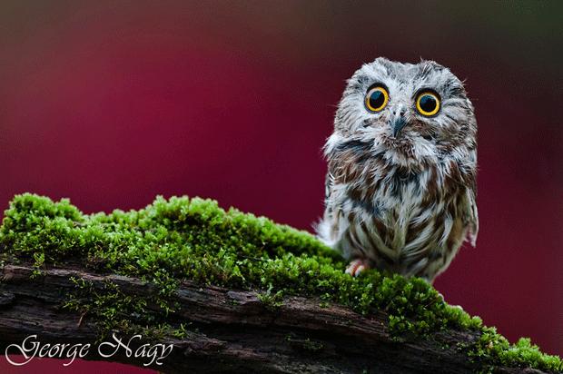 photography-animal-wildlife-owl